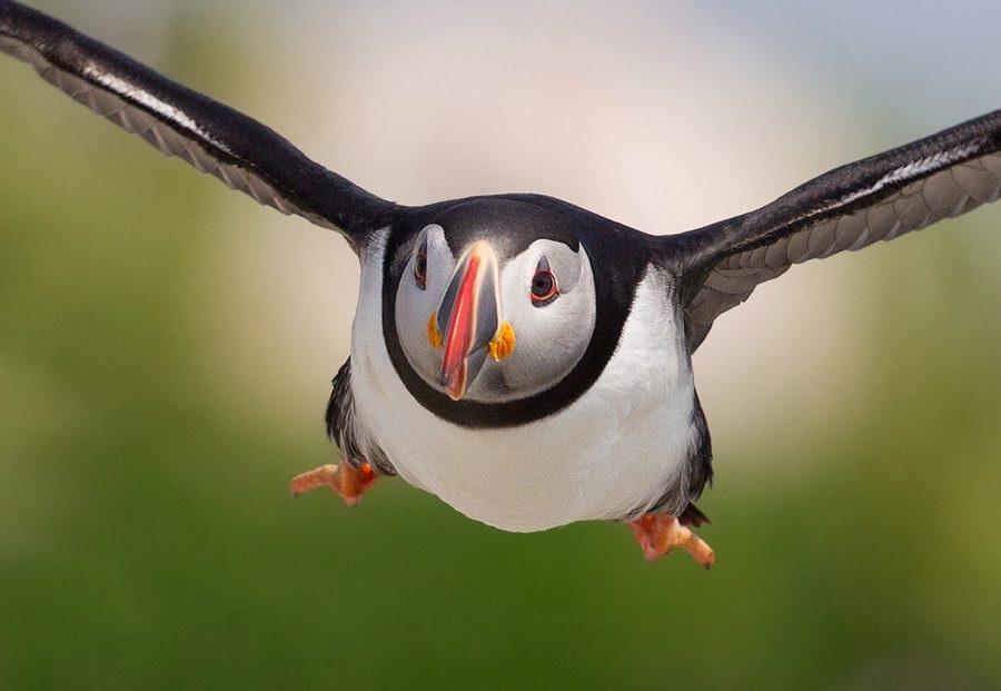 بالصور ..البفن طائر عجيب يشعر بالذنب ويحزن كالانسان %D9%87%D9%87%D9%87%D