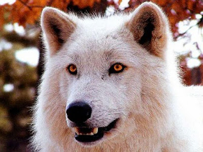 White Wolf Latest Wallpapers 2012