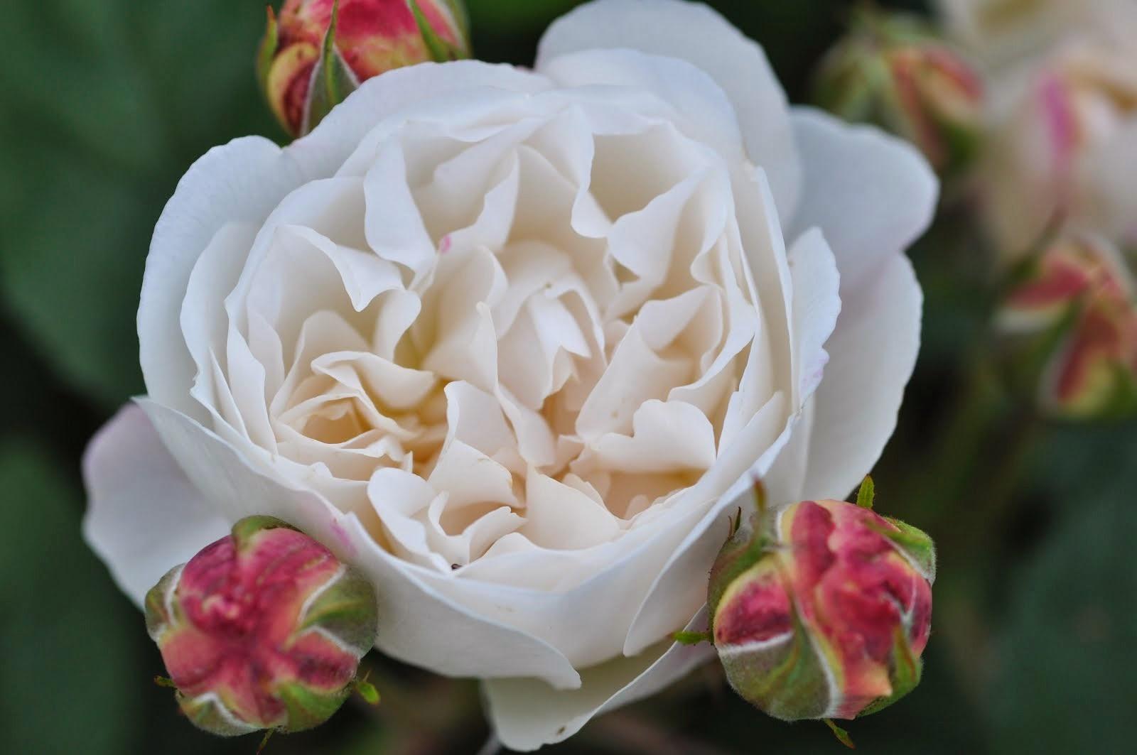 Rose fra hagen
