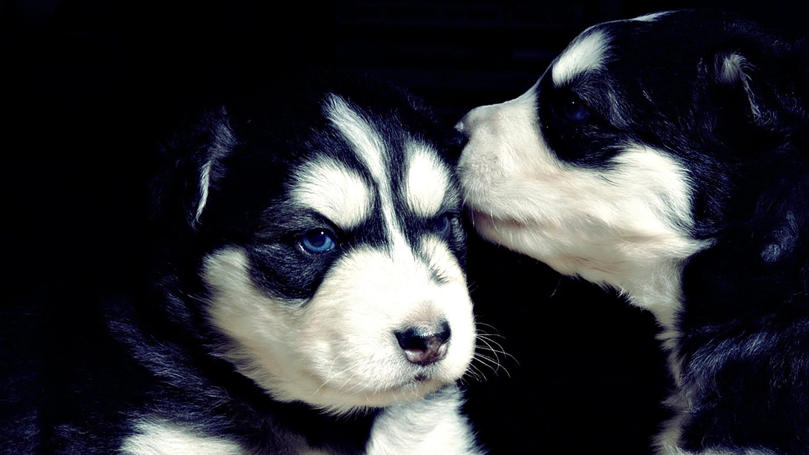 black and white dog wallpapers backgrounds dogs