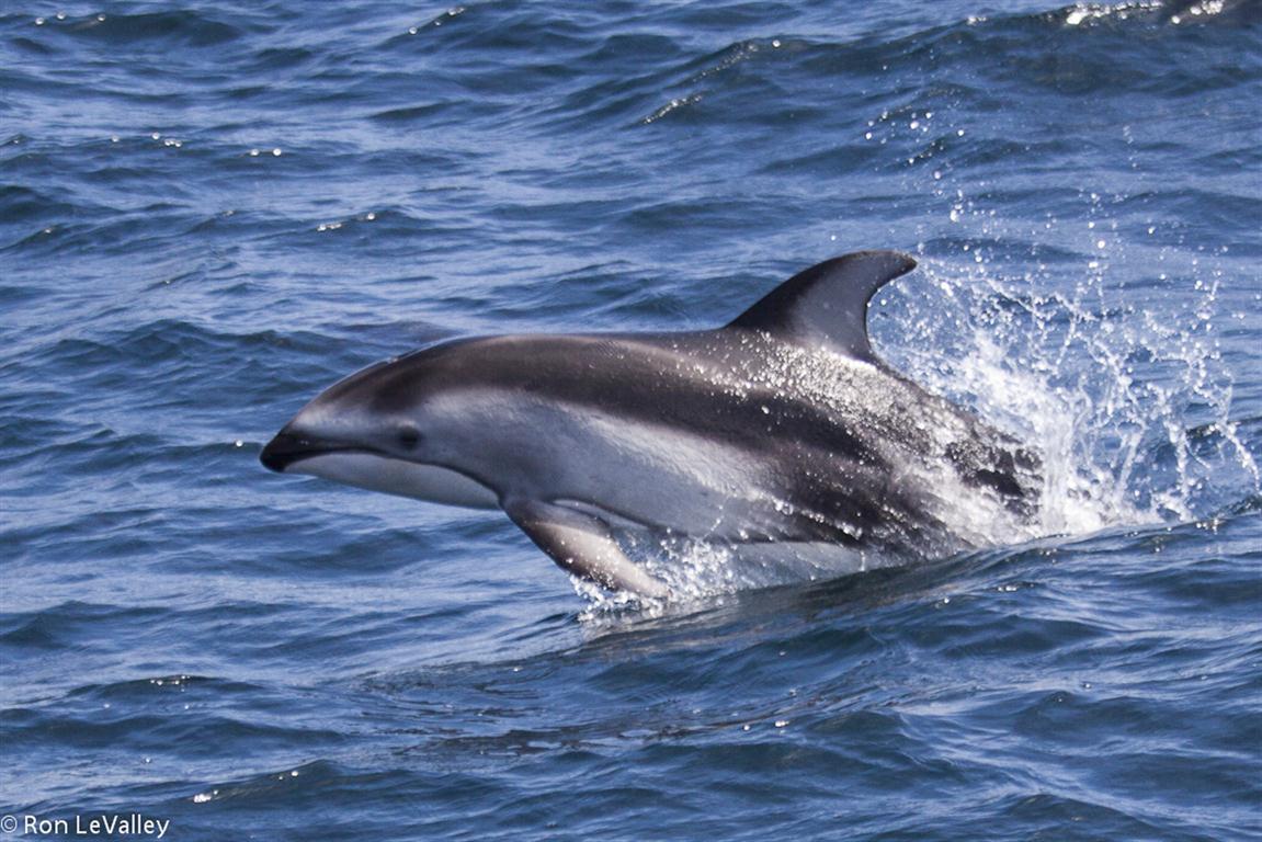 Mendonoma Sightings: Dolphins! - photo#13