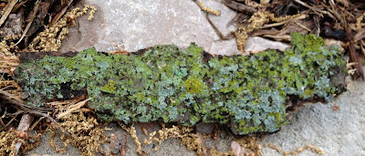 Large piece of tree bark covered in lime green and blue-green lichen