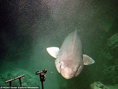 This type of shark species is rare, it can be found in the Atlantic, Pacific, and Indian oceans