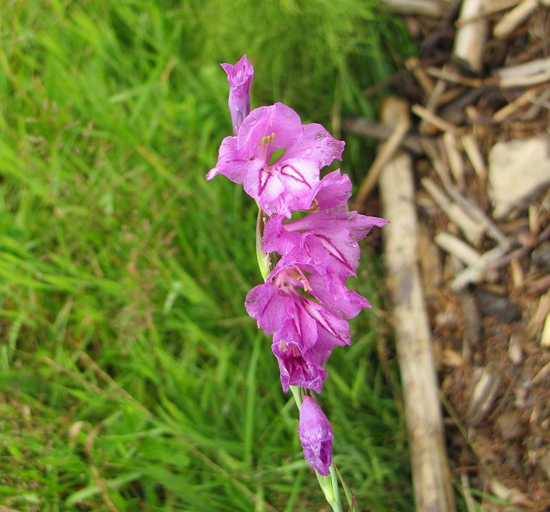 Mieczyk dachówkowaty (Gladiolus imbricatus)