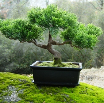 bonsai, tanam bonsai