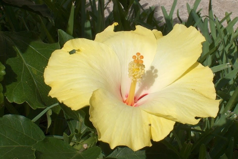 Hibiscus Flowers Pictures: Yellow Hibiscus Flower # 4