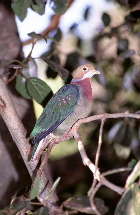 Pink spotted fruit dove