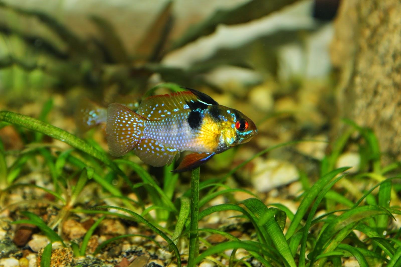 Amazing Fish Papiliochromis Ramirezi