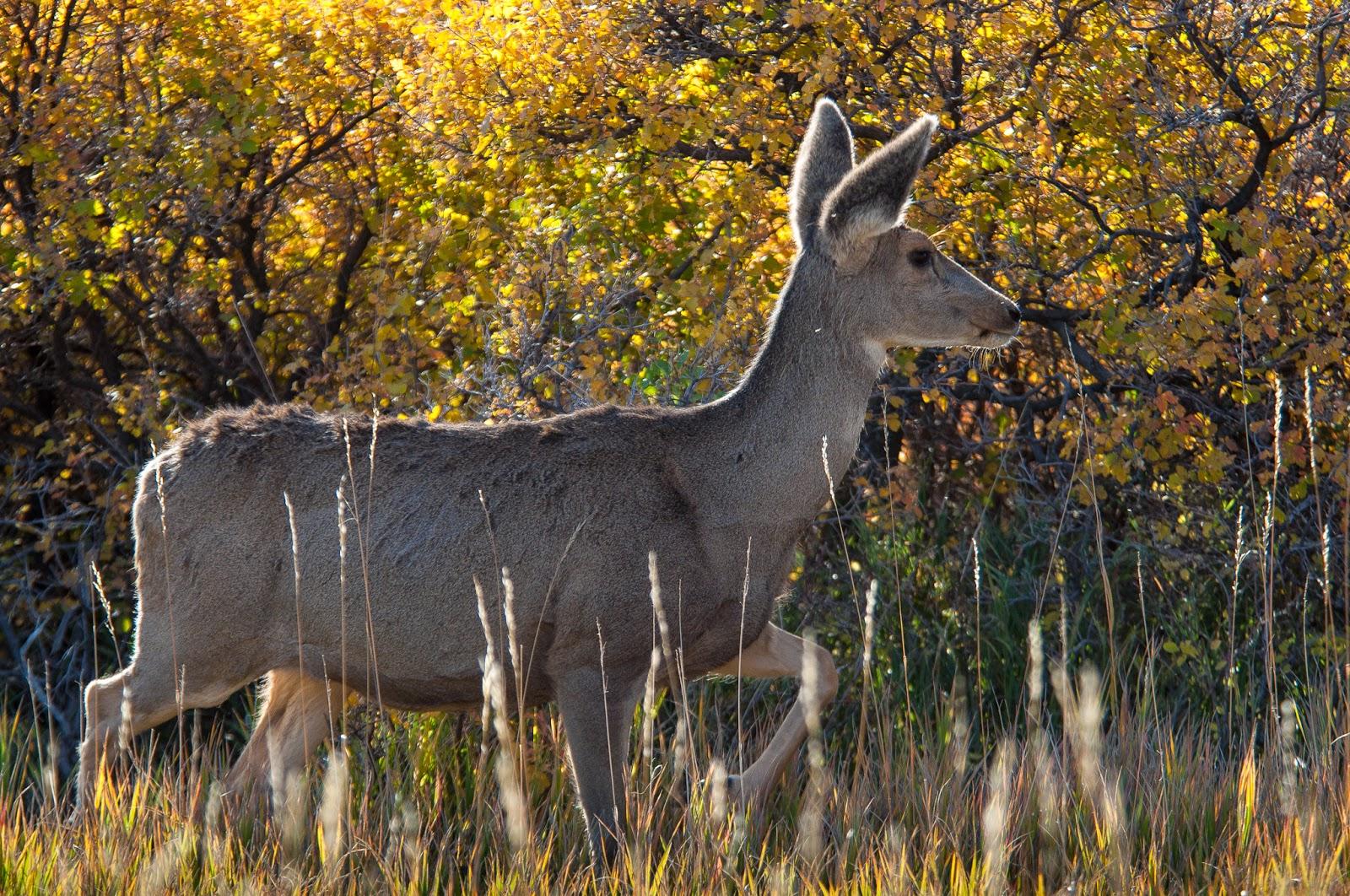 Mule Deer, Roxborough State Park