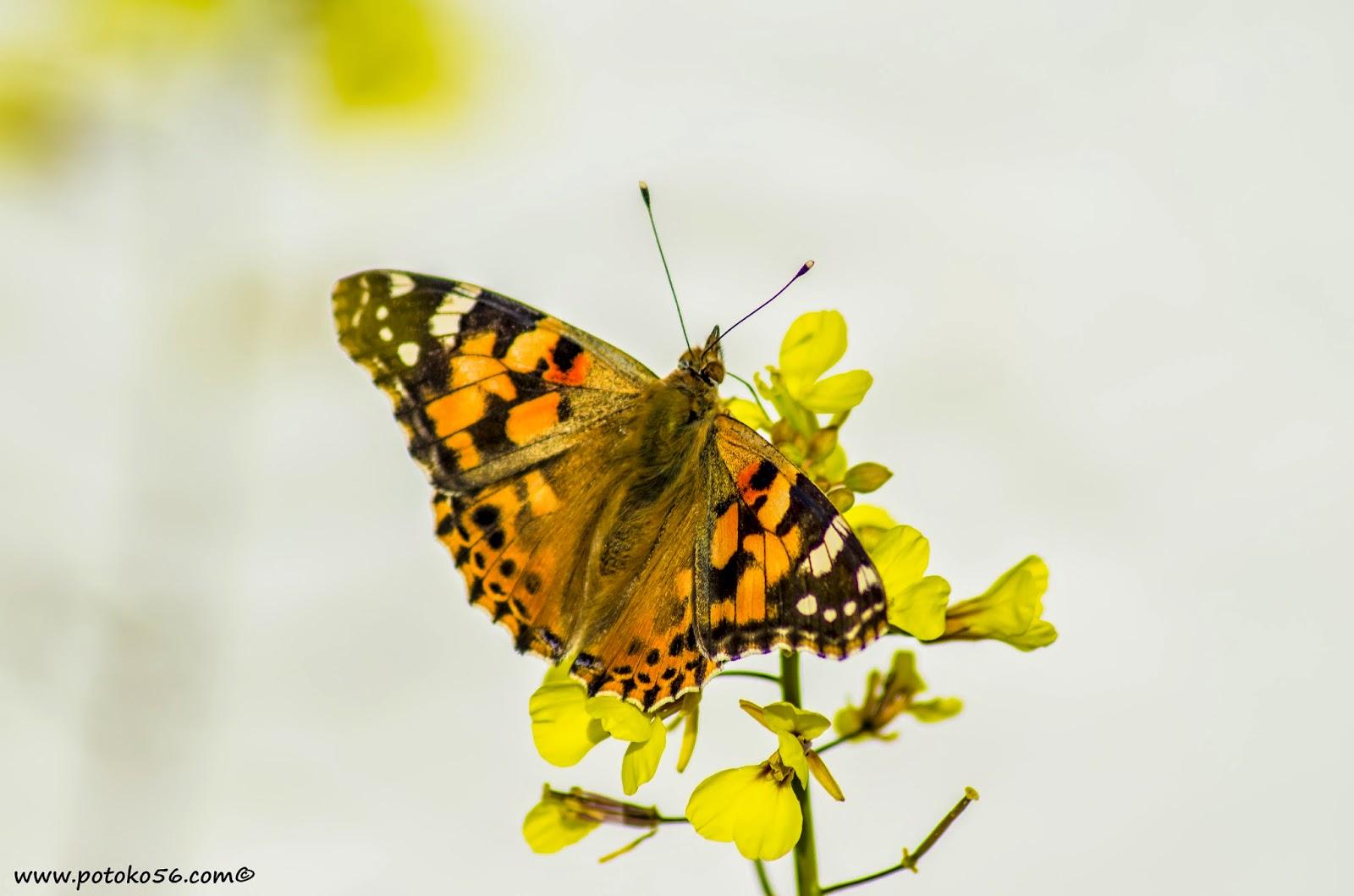 mariposa recolectando a pleno sol en un jardín en Rota