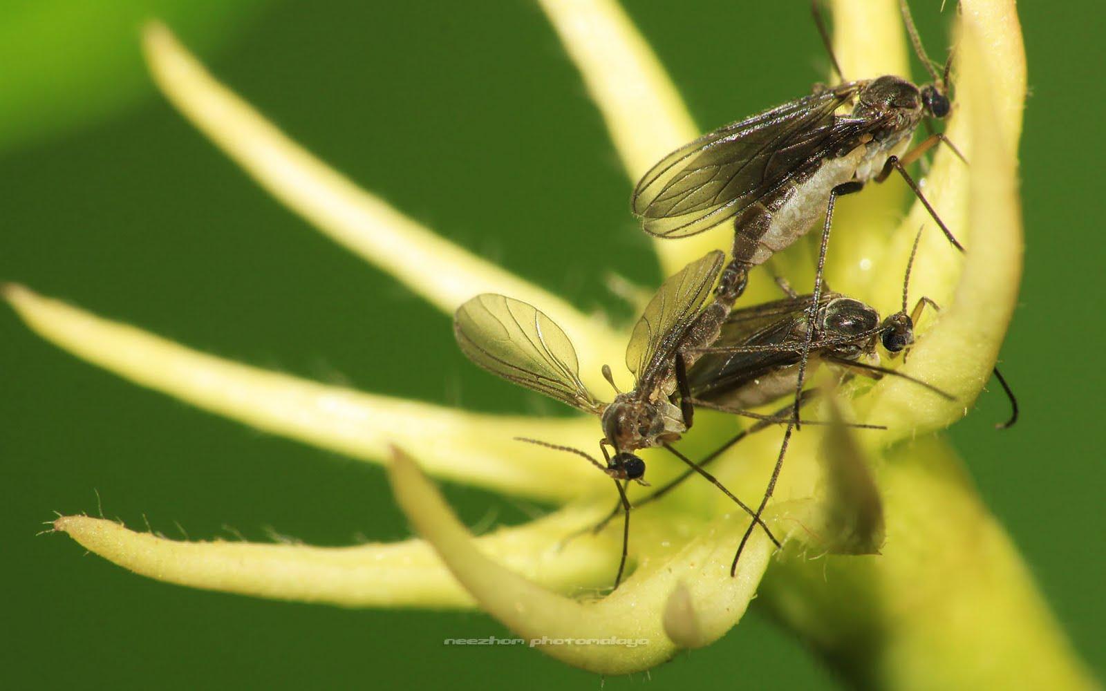 Nyamuk sedang mengawan