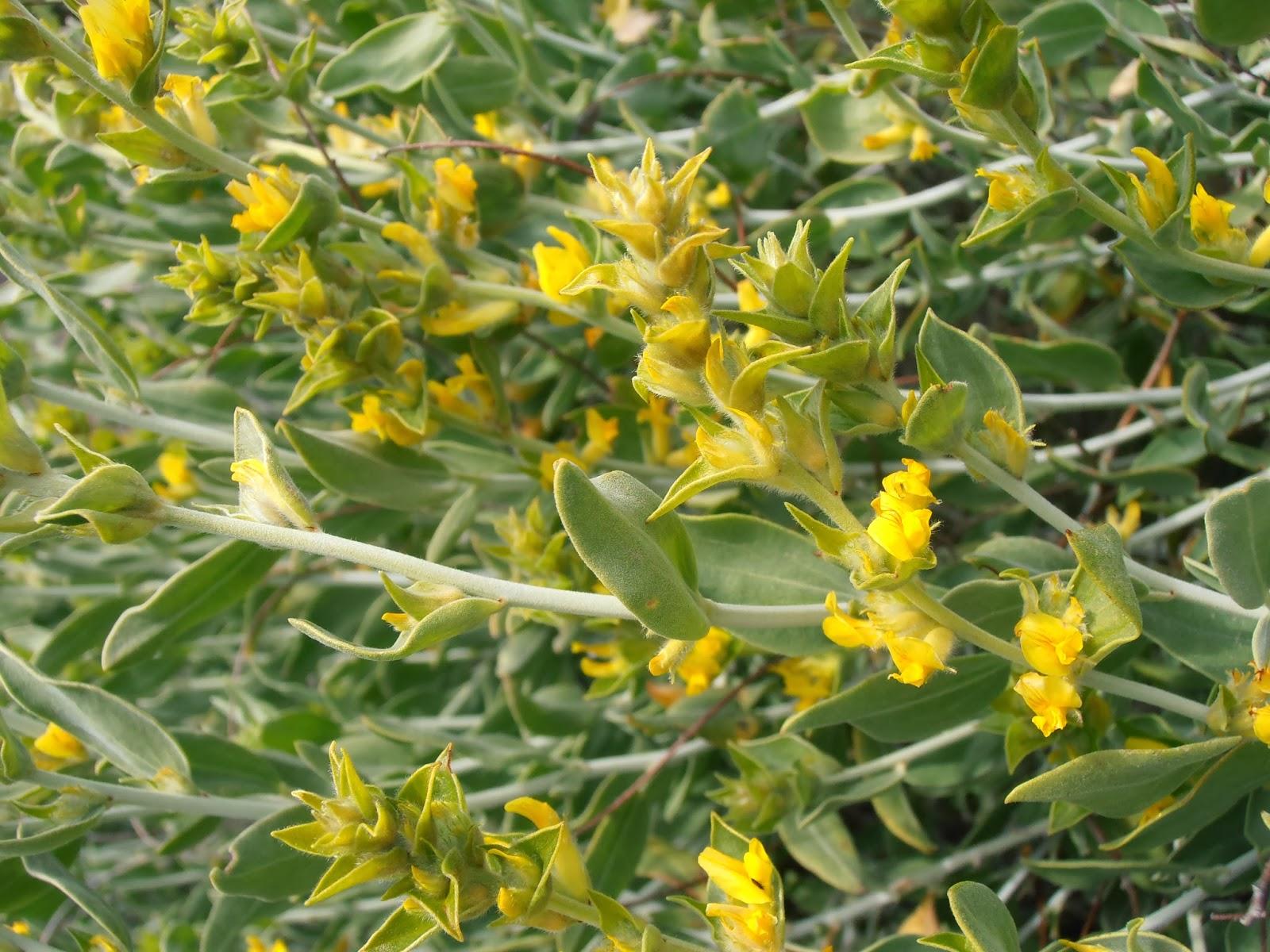 albaida-anthyllis-cytisoides