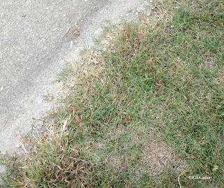 buffalo grass, Buchlöe dactyloides
