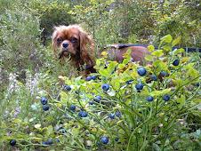 På blåbærtur