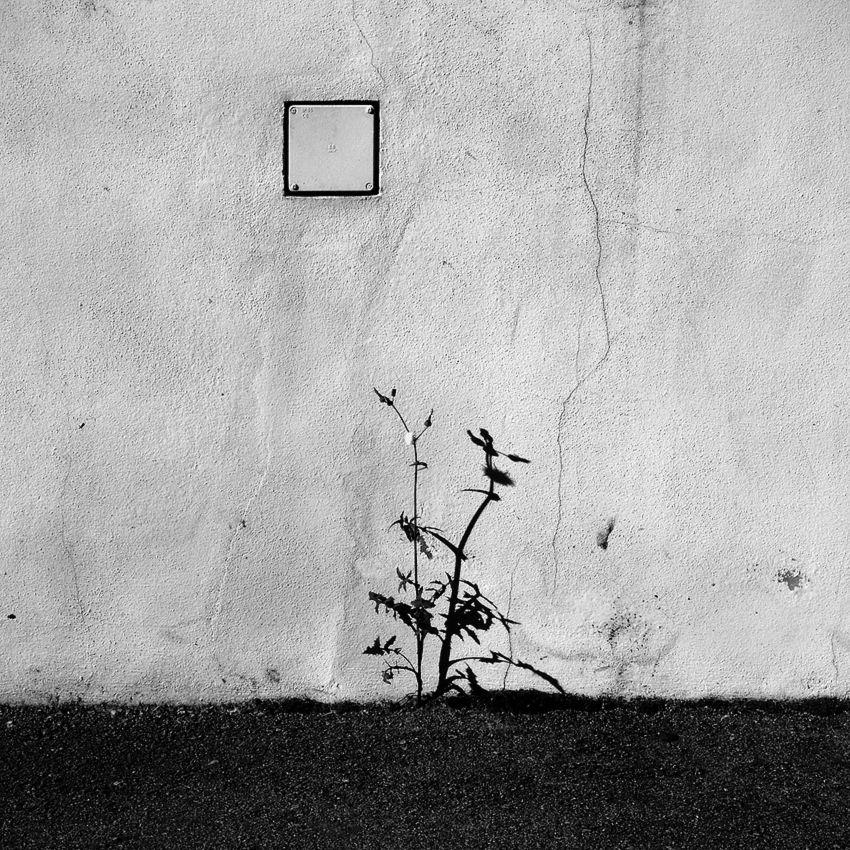 Imagem dividida em duas áreas. Em baixo apenas asfalto, em cima, parede com algumas rachas e uma caixa eléctrica embutida. Entre as duas áreas, uma planta (erva) e a sua sombra projectada na parede.