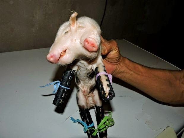 Porco nasce com duas cabeças em propriedade da zona rual de Livramento de Nossa Senhora. (Foto: Marcos Santos / L12 Notícias)