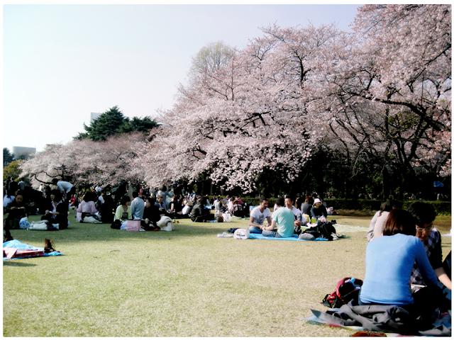 cherry blossoms at shinjuku gyoen tokyo