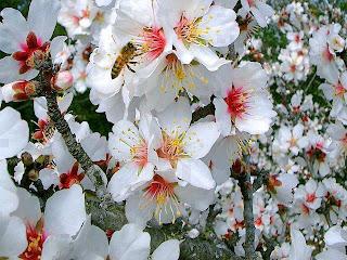 blancas flores del almendro