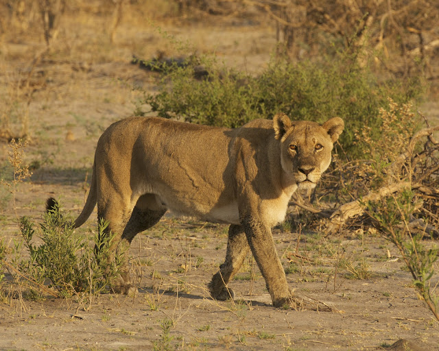 lion-africa-Botswana