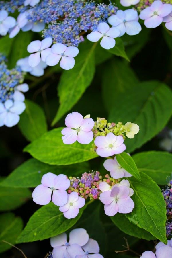 Pastel Hydrangeas ~ Photo by ChatterBlossom #hydrangea #flower #garden