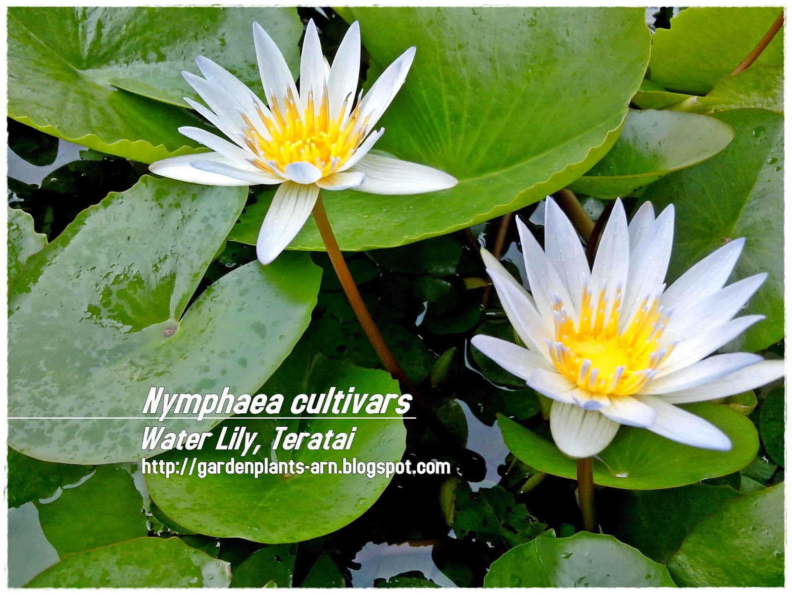 Garden plants cik arn nymphaea cultivars plant habits shrubs plant care requirements requires lots of water prefers full sun plant use characteristics ornamental flowers aquatic plant izmirmasajfo