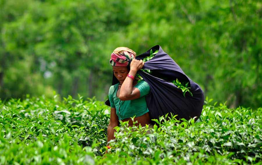 tea garden, sylhet, Bangladesh