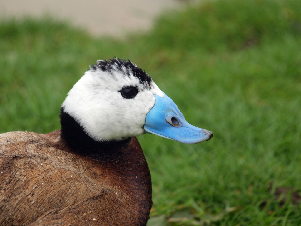 el pozo de los desamparados White-headed+Duck