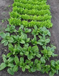 Шпинат и салат