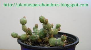 cactus de la familia de los Tephrocactus