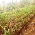 Keren, Desa Madani Binaan Parmusi di NTT Panen Jagung