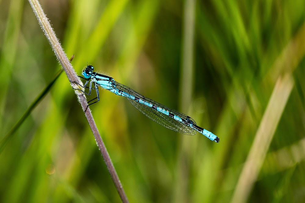 Common Blue Damselfly - Loughton Valley Park, Milton Keynes