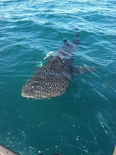 whale shark off Port Canaveral fishing charter
