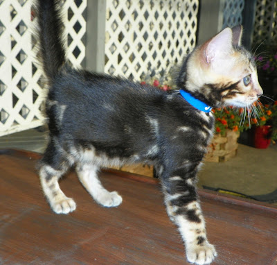Adore Cats Bengals A Marble Bengal Kitten For Sale
