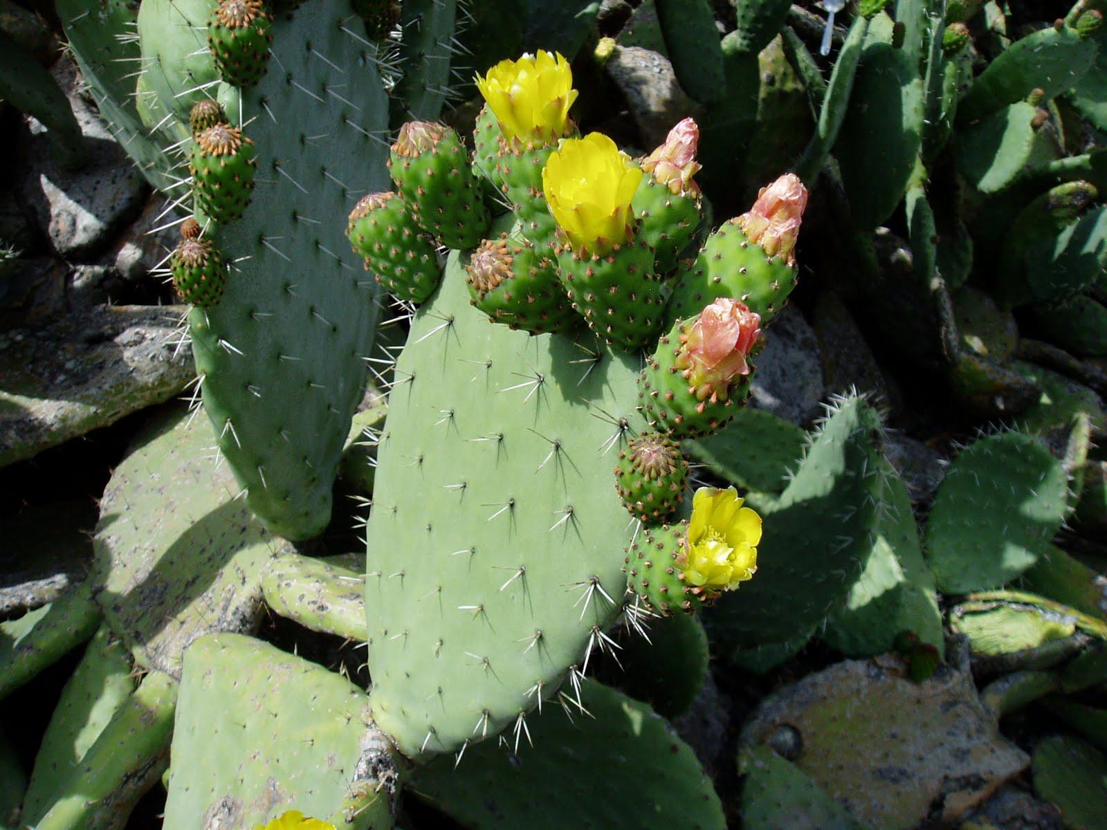 Chumbera opuntia ficus indica opuntia dillenii plantas - Variedades de ficus ...