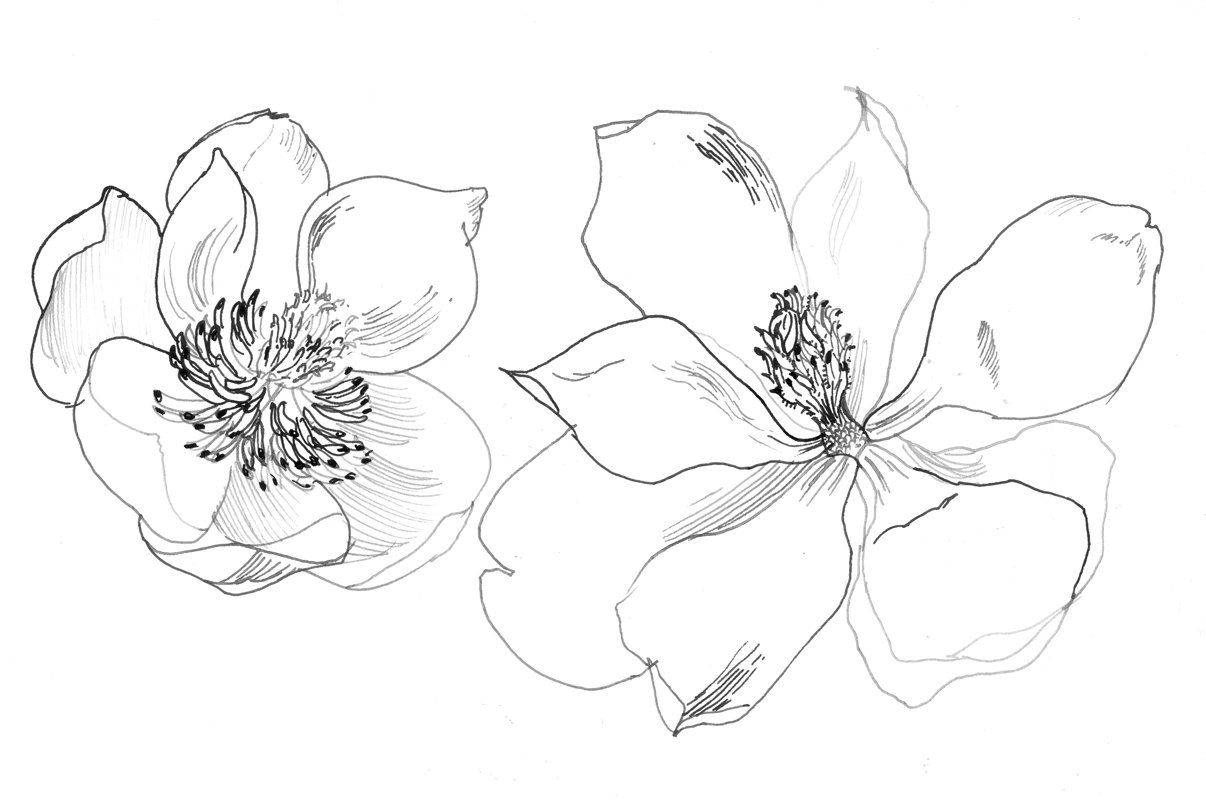 Magnolia Flower Line Drawing : The painted blackbird magnolia love
