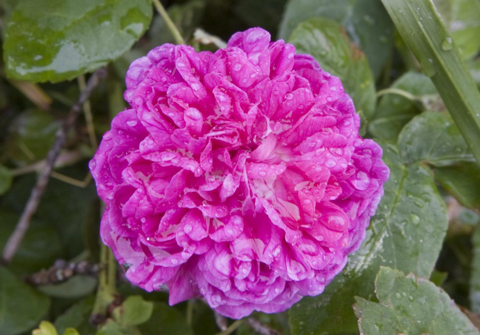 Vie aux godinieres il n 39 y a pas de rose sans pines - Rosier grimpant sans epine ...