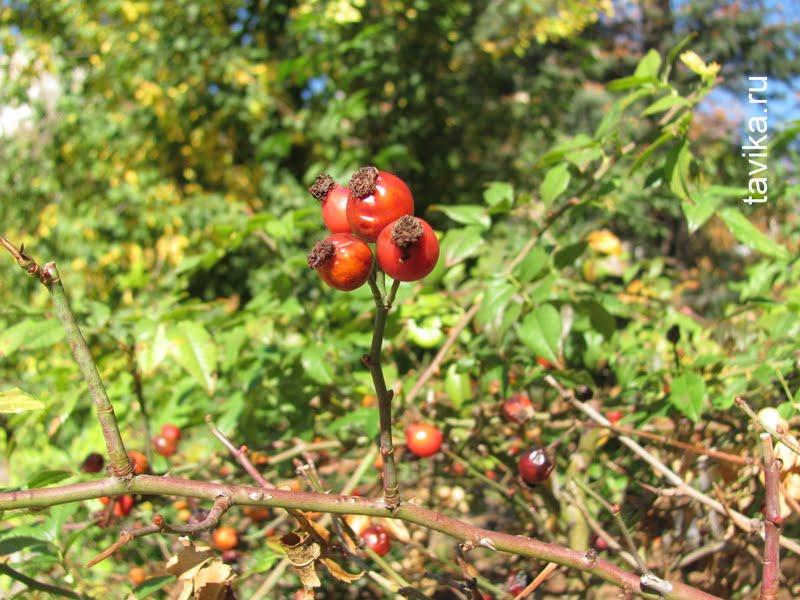 ягода шиповника