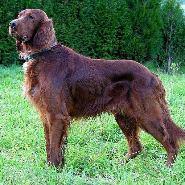 Setters Dog Breeds