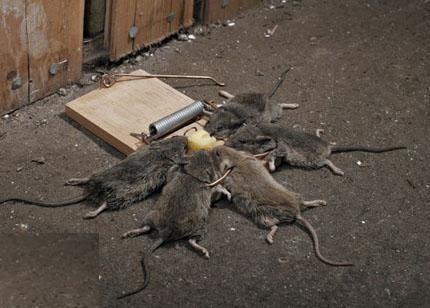 Rat Traps