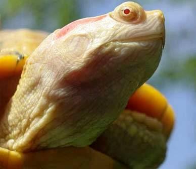La Tortuga Albina (Pelodiscus sinensis albina)