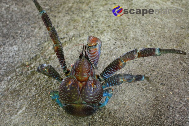 Batanes food coconut crab and flying fish escape manila for Where do flying fish live