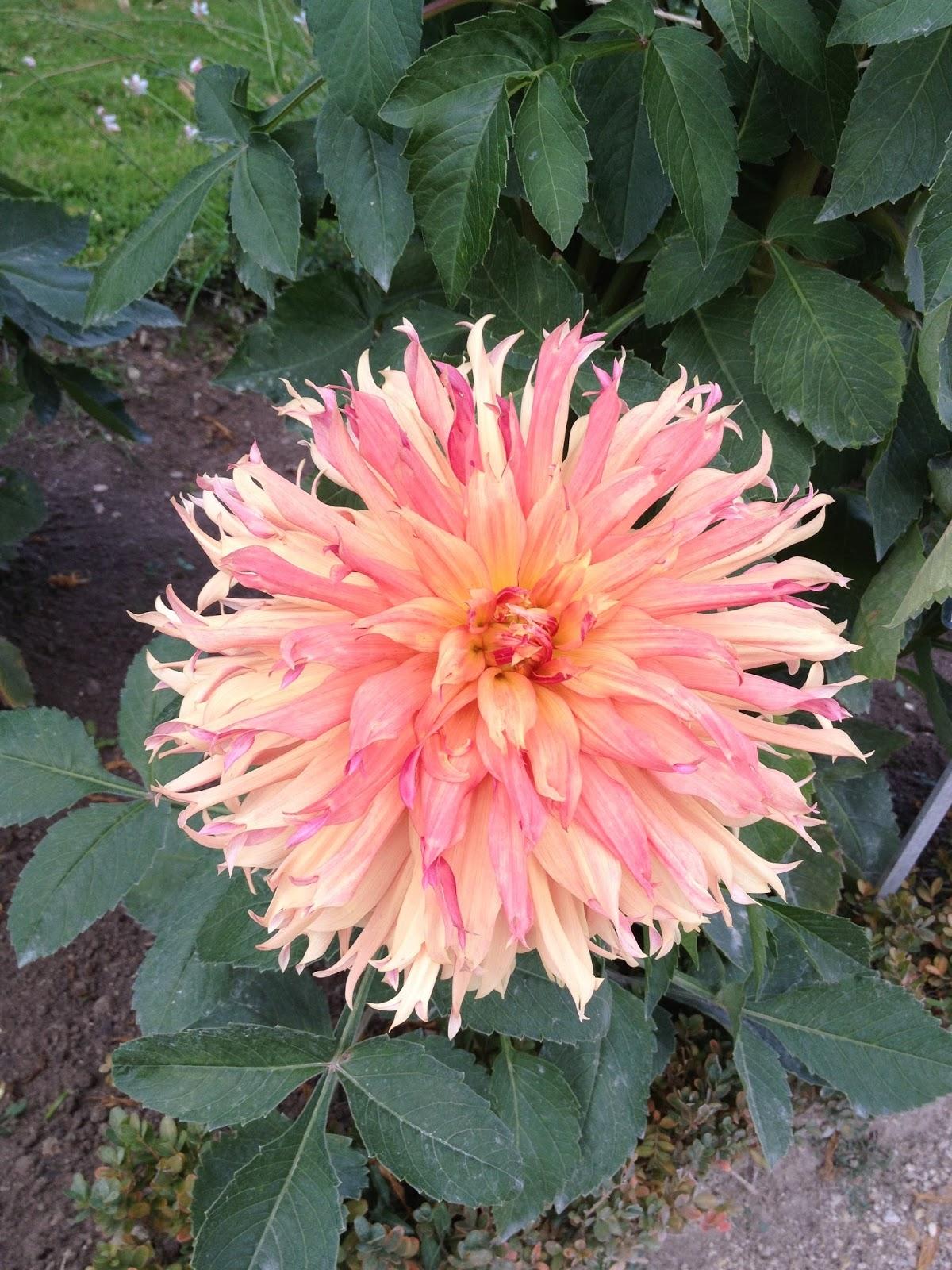 une expo de rentrée: les Dahlias du Jardin des Plantes   Le Beau Vice
