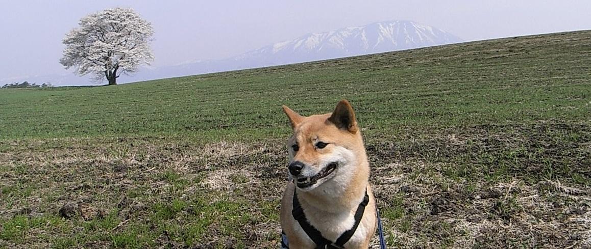 柴犬ク~との癒しの生活