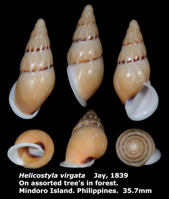 Helicostyla virgata 40.76mm 美嬌蝸牛