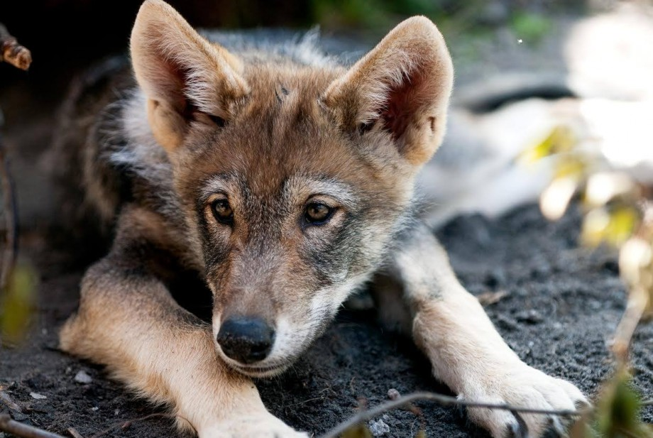 STOP THE KILLING OF WOLVES IN NORWAY