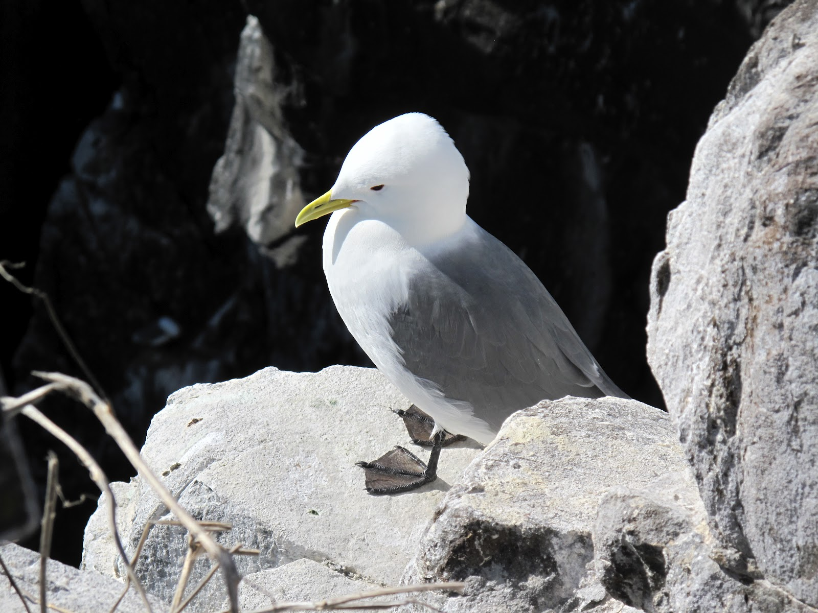 Fears for St Kildas kittiwakes as just one hatches this year and uk