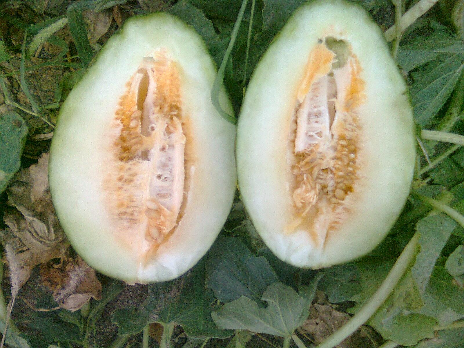 melones los melones cucumis melo l son unas frutas de temporada de