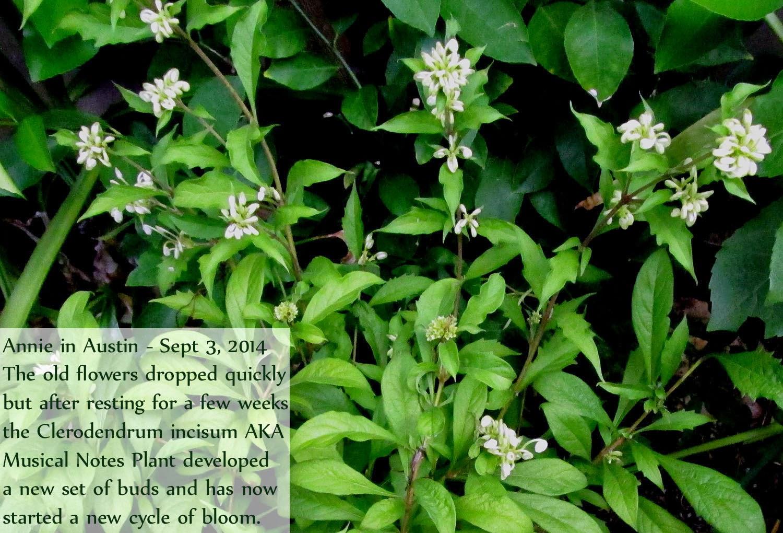 Clerodendrum para Florida - Plantas de Miss Smarty