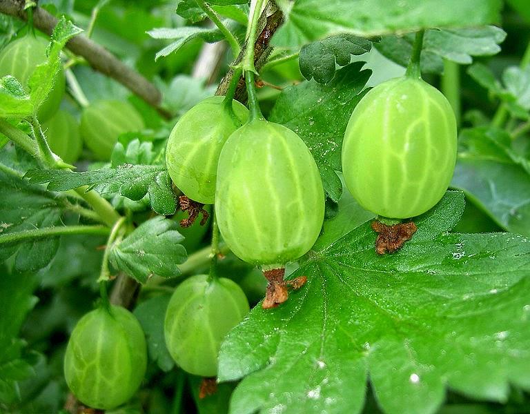 Stachelbeere - uva-espinha