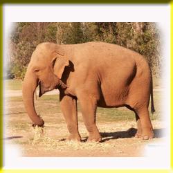 gajah_asia_makan